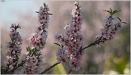 La Palmamandelbluete Fruehling Gedichte W Busch H