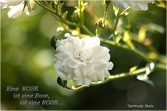 gertrude stein eine rose ist eine rose ist eine rose. Black Bedroom Furniture Sets. Home Design Ideas